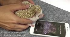 Ежа научили разблокировать iPhone отпечатком лапы